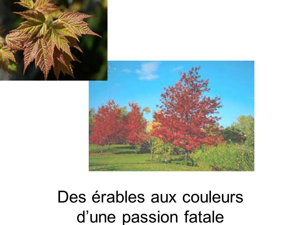 Des érables aux couleurs d'une passion fatale