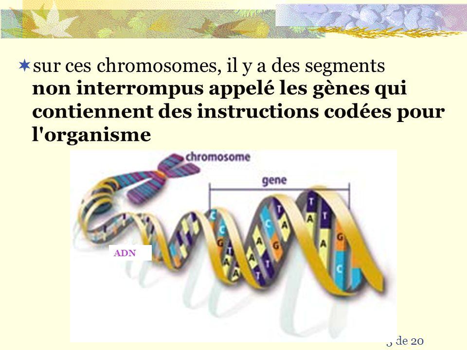 3 de 20  sur ces chromosomes, il y a des segments non interrompus appelé les gènes qui contiennent des instructions codées pour l organisme ADN