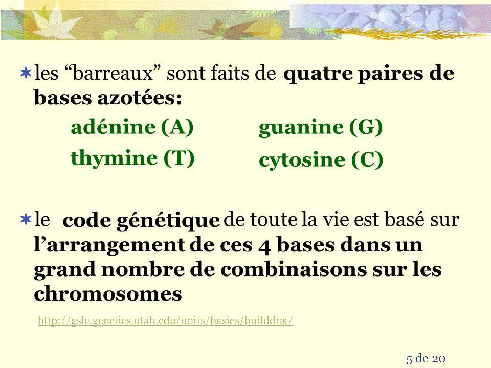 5 de 20  les barreaux sont faits de adénine (A)guanine (G) cytosine (C) thymine (T)  le de toute la vie est basé sur quatre paires de bases azotées: l'arrangement de ces 4 bases dans un grand nombre de combinaisons sur les chromosomes code génétique http://gslc.genetics.utah.edu/units/basics/builddna/