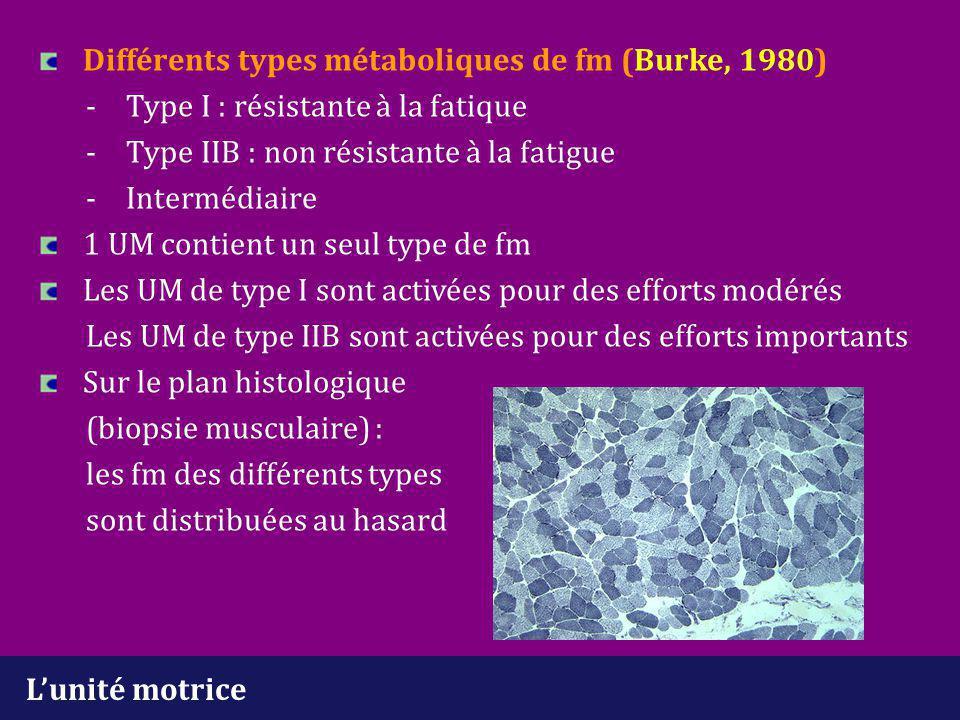 L'unité motrice Différents types métaboliques de fm (Burke, 1980) - Type I : résistante à la fatique - Type IIB : non résistante à la fatigue -Intermé