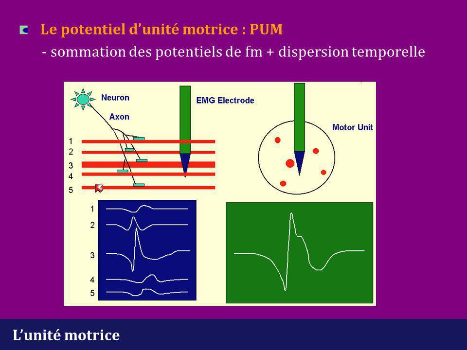 L'unité motrice Dispersion temporelle - variabilité de la conduction axonale - variabilité de la transmission neuromusculaire - variabilité de la conduction musculaire (distance variable entre la plaque motrice et l'aiguille + variabilité du diamètre des fm) Morphologie du PUM - nombre de fm - distribution des fm - taille des fm - localisation des plaques motrices - innervation terminale