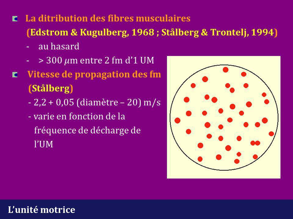 L'unité motrice La ditribution des fibres musculaires (Edstrom & Kugulberg, 1968 ; Stålberg & Trontelj, 1994) - au hasard -> 300 m entre 2 fm d'1 UM V