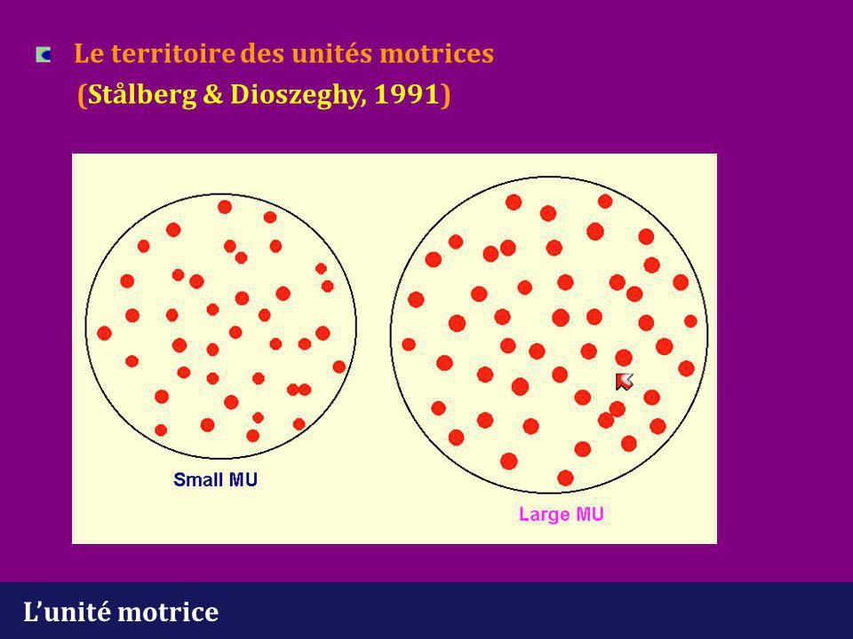 L'unité motrice Innervation terminale (Stålberg & Antoni, 1980)