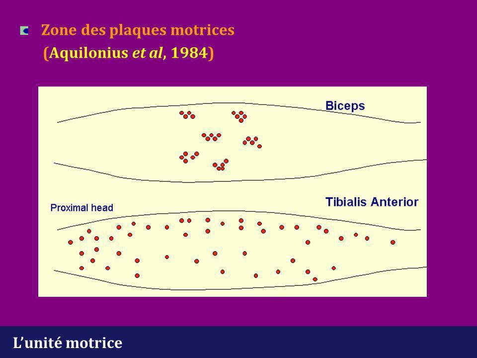 L'unité motrice Différents types métaboliques de fm (Burke, 1980) - Type I : résistante à la fatique - Type IIB : non résistante à la fatigue -Intermédiaire 1 UM contient un seul type de fm Les UM de type I sont activées pour des efforts modérés Les UM de type IIB sont activées pour des efforts importants Sur le plan histologique (biopsie musculaire) : les fm des différents types sont distribuées au hasard