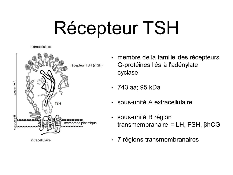 Récepteur TSH membre de la famille des récepteurs G-protéines liés à l'adénylate cyclase 743 aa; 95 kDa sous-unité A extracellulaire sous-unité B région transmembranaire = LH, FSH, βhCG 7 régions transmembranaires