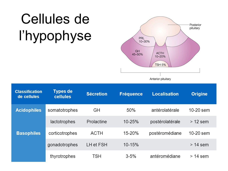 Cellules de l'hypophyse Classification de cellules Types de cellules SécretionFréquenceLocalisationOrigine AcidophilessomatotrophesGH50%antérolatérale10-20 sem lactotrophesProlactine10-25%postérolatérale> 12 sem BasophilescorticotrophesACTH15-20%postéromédiane10-20 sem gonadotrophesLH et FSH10-15%> 14 sem thyrotrophesTSH3-5%antéromédiane> 14 sem
