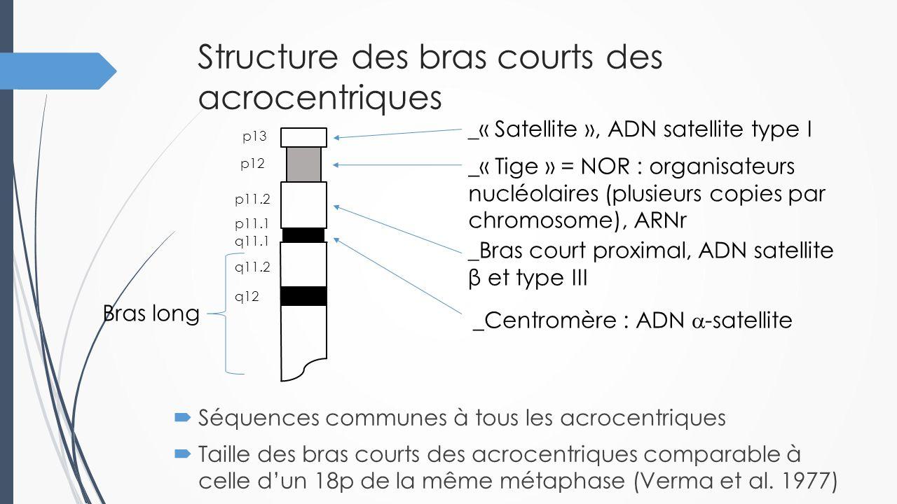 Structure des bras courts des acrocentriques _« Satellite », ADN satellite type I _« Tige » = NOR : organisateurs nucléolaires (plusieurs copies par c