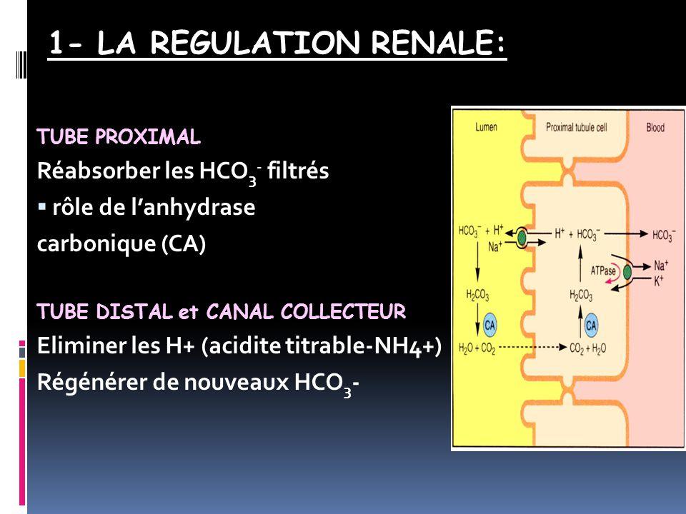 TUBE PROXIMAL Réabsorber les HCO 3 - filtrés  rôle de l'anhydrase carbonique (CA) TUBE DISTAL et CANAL COLLECTEUR Eliminer les H+ (acidite titrable-NH4+) Régénérer de nouveaux HCO 3 - 1- LA REGULATION RENALE: