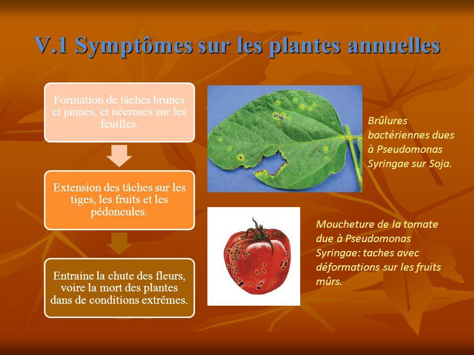 V.1 Symptômes sur les plantes annuelles Formation de tâches brunes et jaunes, et nécroses sur les feuilles.