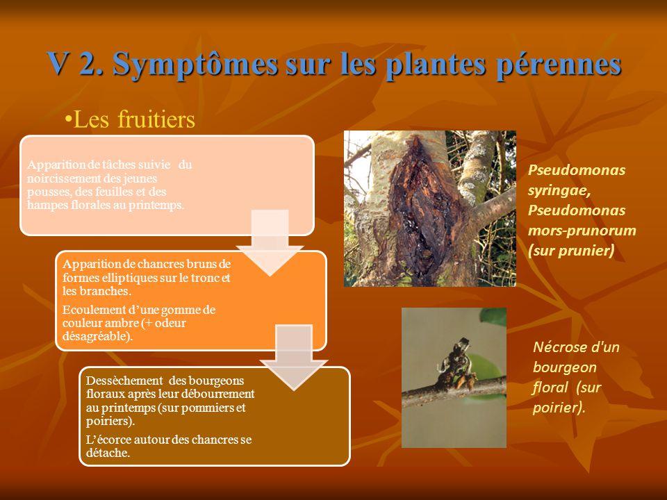 V 2. Symptômes sur les plantes pérennes Apparition de tâches suivie du noircissement des jeunes pousses, des feuilles et des hampes florales au printe