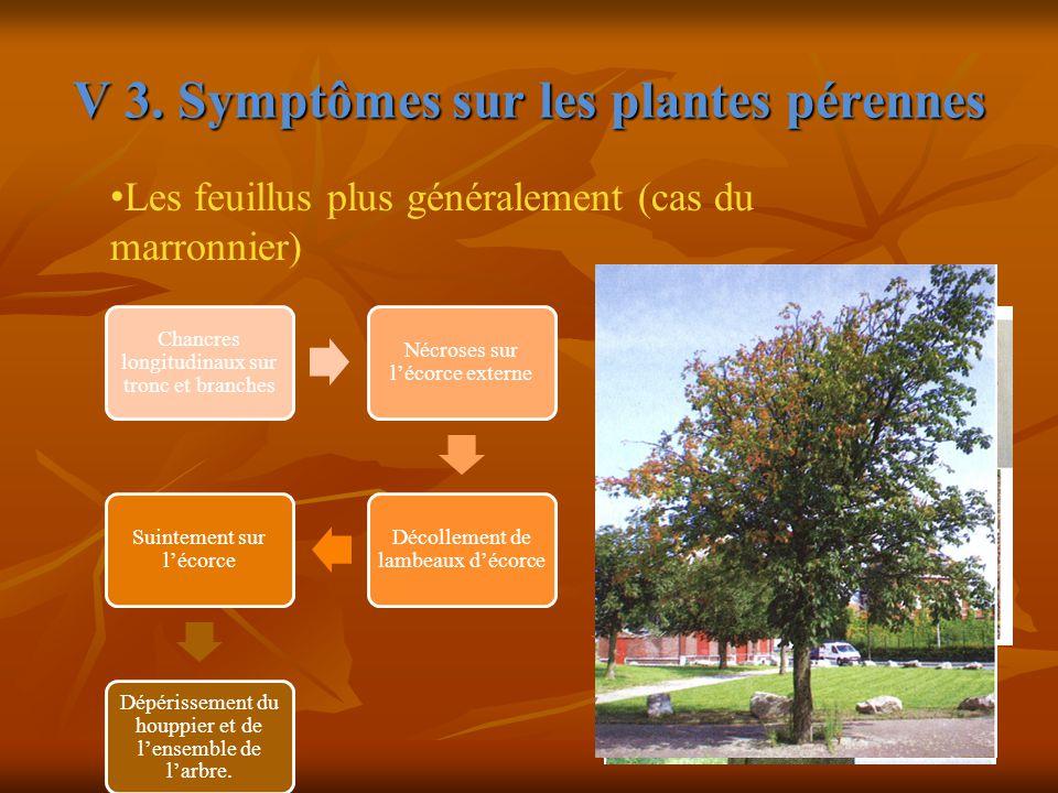 V 3. Symptômes sur les plantes pérennes Chancres longitudinaux sur tronc et branches Nécroses sur l'écorce externe Décollement de lambeaux d'écorce Su