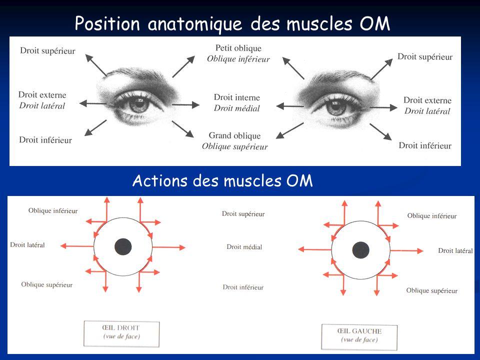 Position anatomique des muscles OM Actions des muscles OM