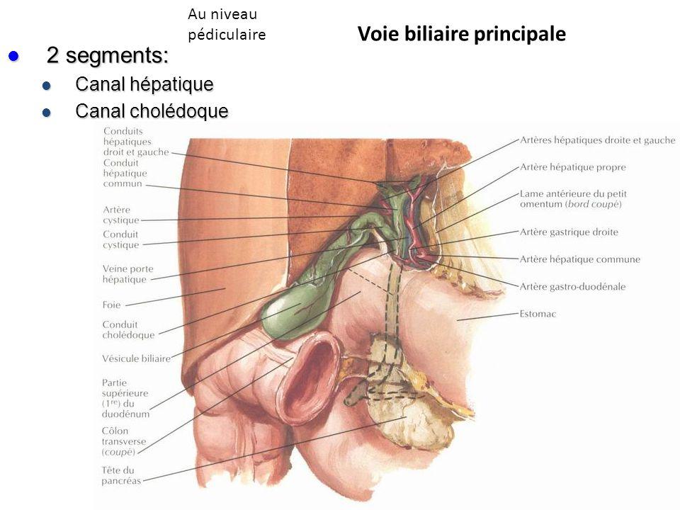 2 segments: 2 segments: Canal hépatique Canal hépatique Canal cholédoque Canal cholédoque Voie biliaire principale Au niveau pédiculaire