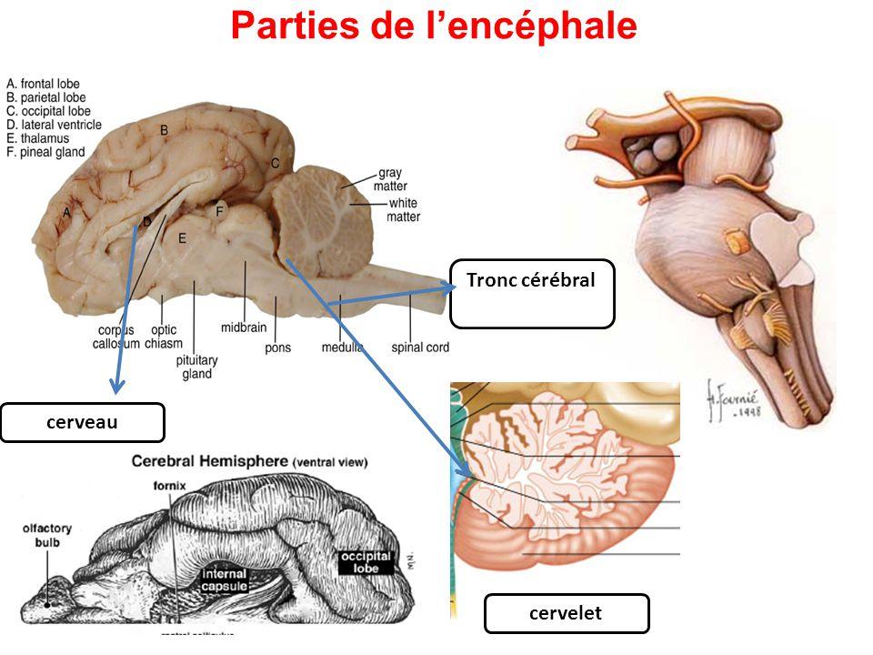 Parties de l'encéphale Tronc cérébral cervelet cerveau