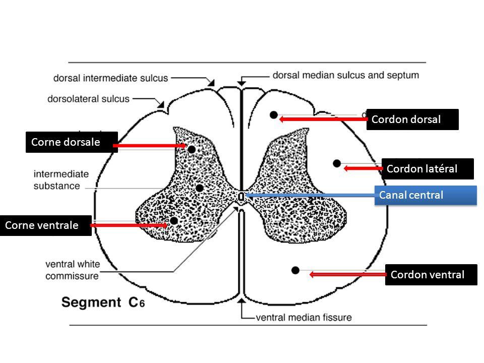 Cordon dorsal Cordon latéral Cordon ventral Corne dorsale Corne ventrale Canal central