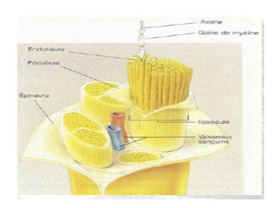 Cellule olfactive Lame criblée de l'os éthmoïde Tractus olfactif