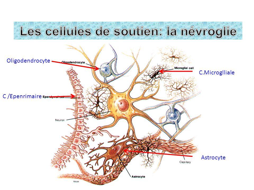 Les nerfs: III,IV,VI