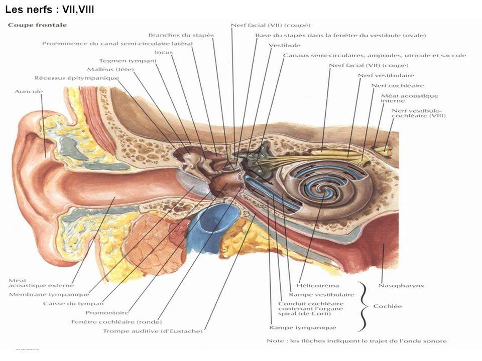 Les nerfs : VII,VIII