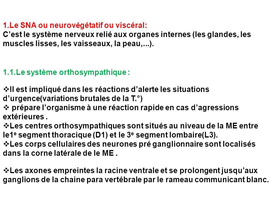  Certains neurones pré ganglionnaire se terminent dans 1 ganglion n'appartenant pas à la chaine para vertébrale comme: ganglion cœliaque: dont les fibres post ganglionnaire innervent le foie, estomac, rein, l'intestin grêle.