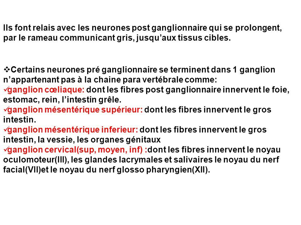  Certains neurones pré ganglionnaire se terminent dans 1 ganglion n'appartenant pas à la chaine para vertébrale comme: ganglion cœliaque: dont les fi