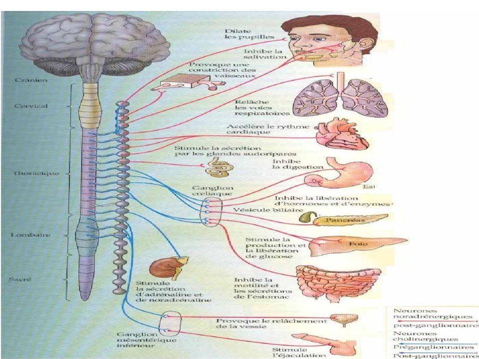 2.1- Le système nerveux parasympathique:  Les centres parasympathiques comportent 2 contingents: 1.