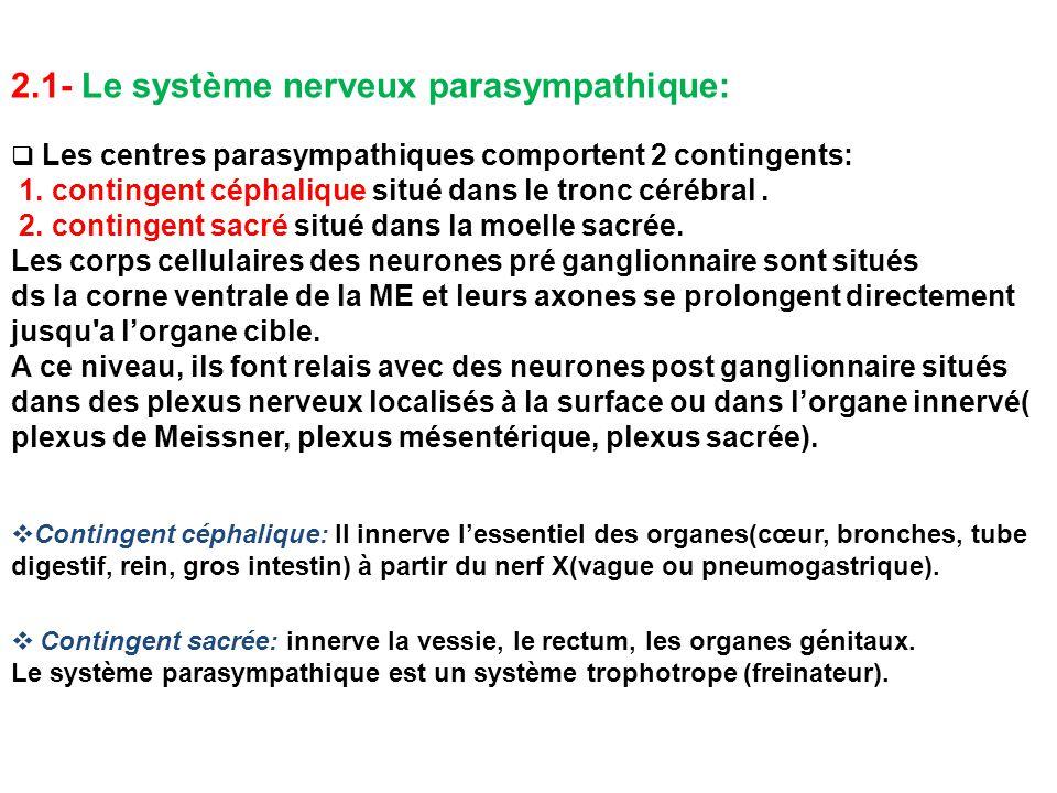 2.1- Le système nerveux parasympathique:  Les centres parasympathiques comportent 2 contingents: 1. contingent céphalique situé dans le tronc cérébra