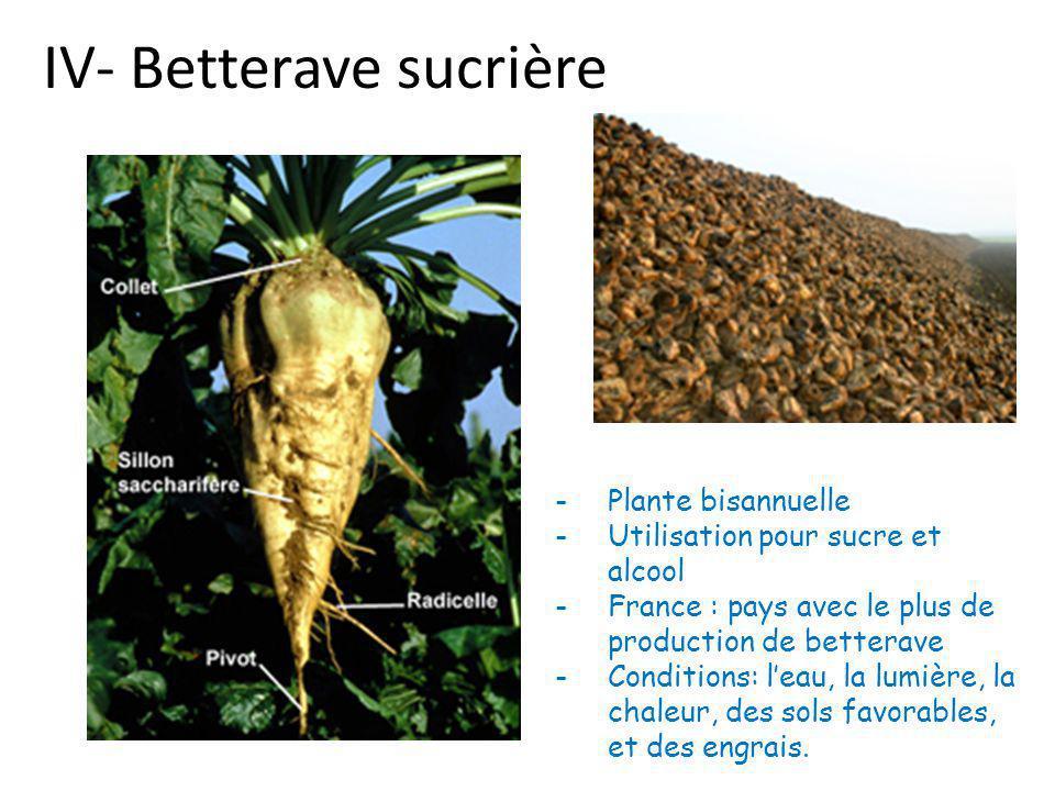 IV- Betterave sucrière -Plante bisannuelle -Utilisation pour sucre et alcool -France : pays avec le plus de production de betterave -Conditions: l'eau, la lumière, la chaleur, des sols favorables, et des engrais.