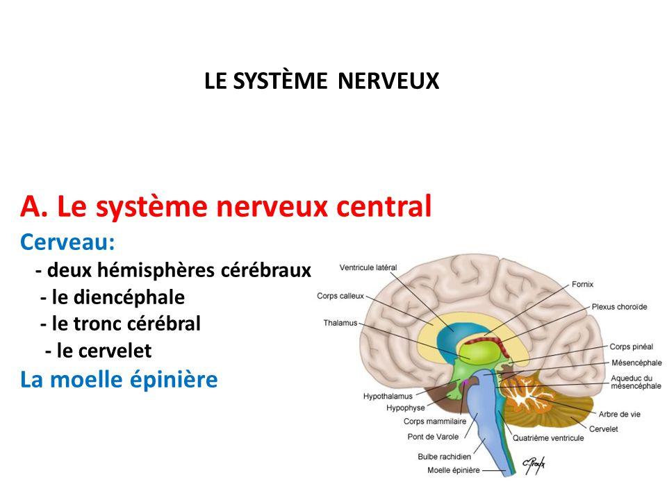LE SYSTÈME NERVEUX A. Le système nerveux central Cerveau: - deux hémisphères cérébraux - le diencéphale - le tronc cérébral - le cervelet La moelle ép