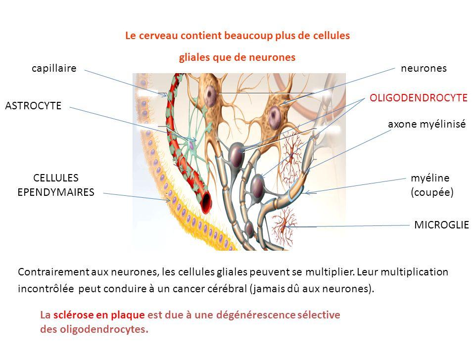 Le cerveau contient beaucoup plus de cellules gliales que de neurones neurones OLIGODENDROCYTE axone myélinisé myéline (coupée) MICROGLIE capillaire A