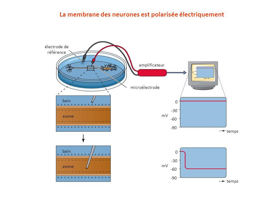 La membrane des neurones est polarisée électriquement électrode de référence microélectrode bain axone bain axone amplificateur 0 -30 -60 -90 0 -30 -6