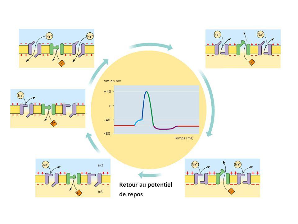 0 + 40 - 40 - 80 Temps (ms) K+K+ Na + K+K+ K+K+ K+K+ K+K+ ext int Vm en mV Retour au potentiel de repos.