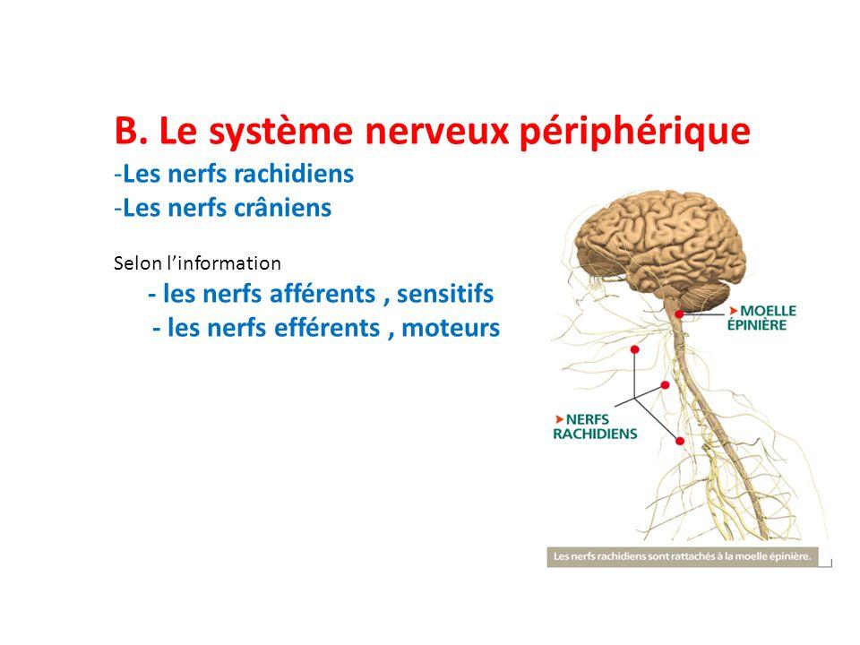 B. Le système nerveux périphérique -Les nerfs rachidiens -Les nerfs crâniens Selon l'information - les nerfs afférents, sensitifs - les nerfs efférent