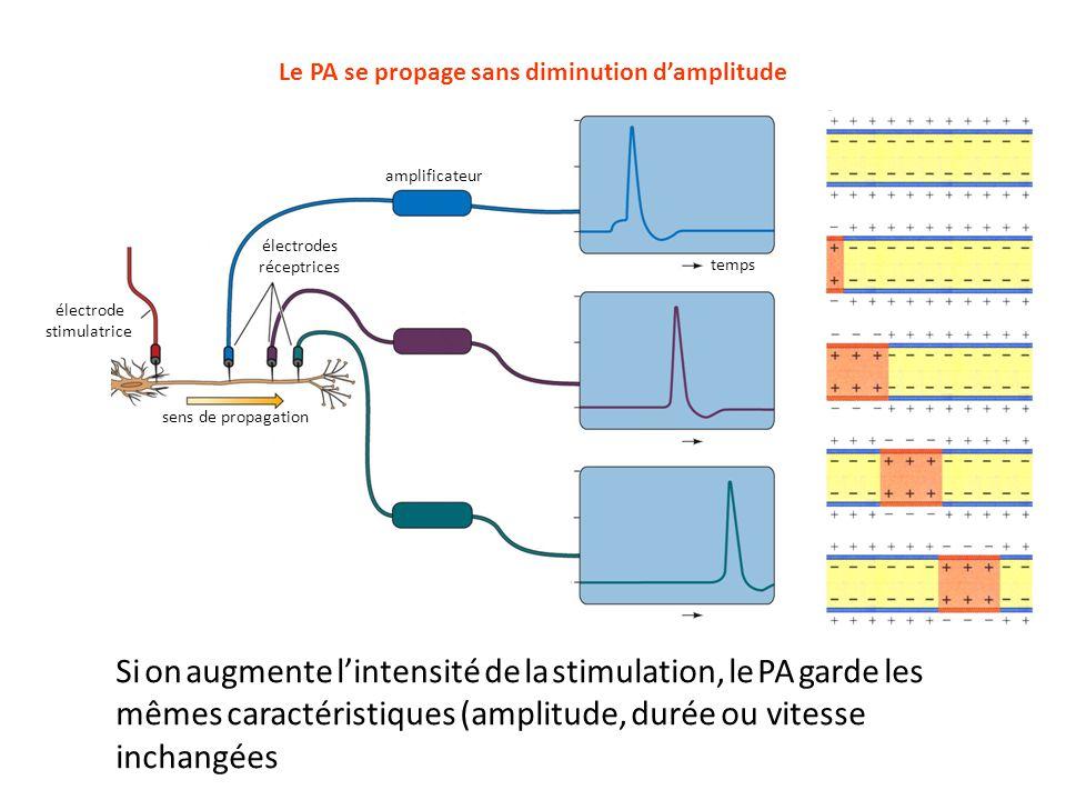 électrode stimulatrice électrodes réceptrices sens de propagation amplificateur temps Le PA se propage sans diminution d'amplitude Si on augmente l'in