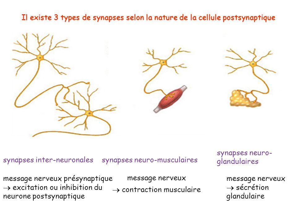 Il existe 3 types de synapses selon la nature de la cellule postsynaptique synapses inter-neuronalessynapses neuro-musculaires synapses neuro- glandul