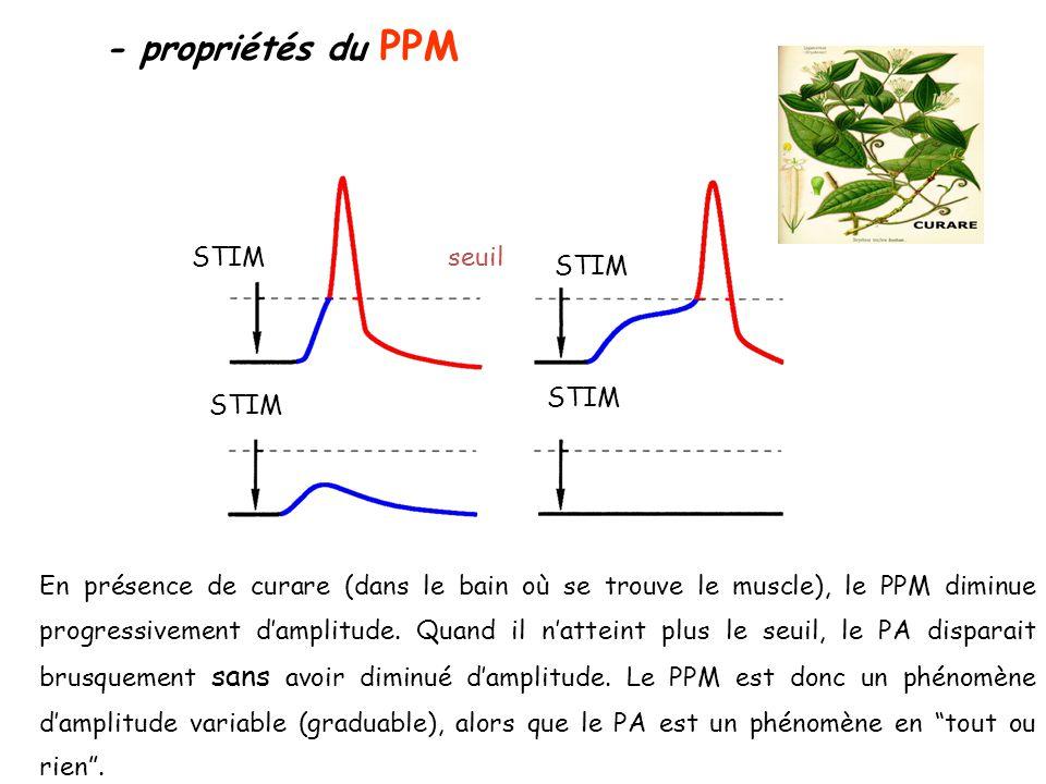 - propriétés du PPM STIM seuil En présence de curare (dans le bain où se trouve le muscle), le PPM diminue progressivement d'amplitude. Quand il n'att