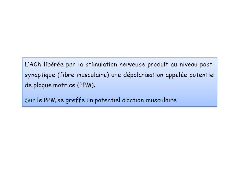 L'ACh libérée par la stimulation nerveuse produit au niveau post- synaptique (fibre musculaire) une dépolarisation appelée potentiel de plaque motrice