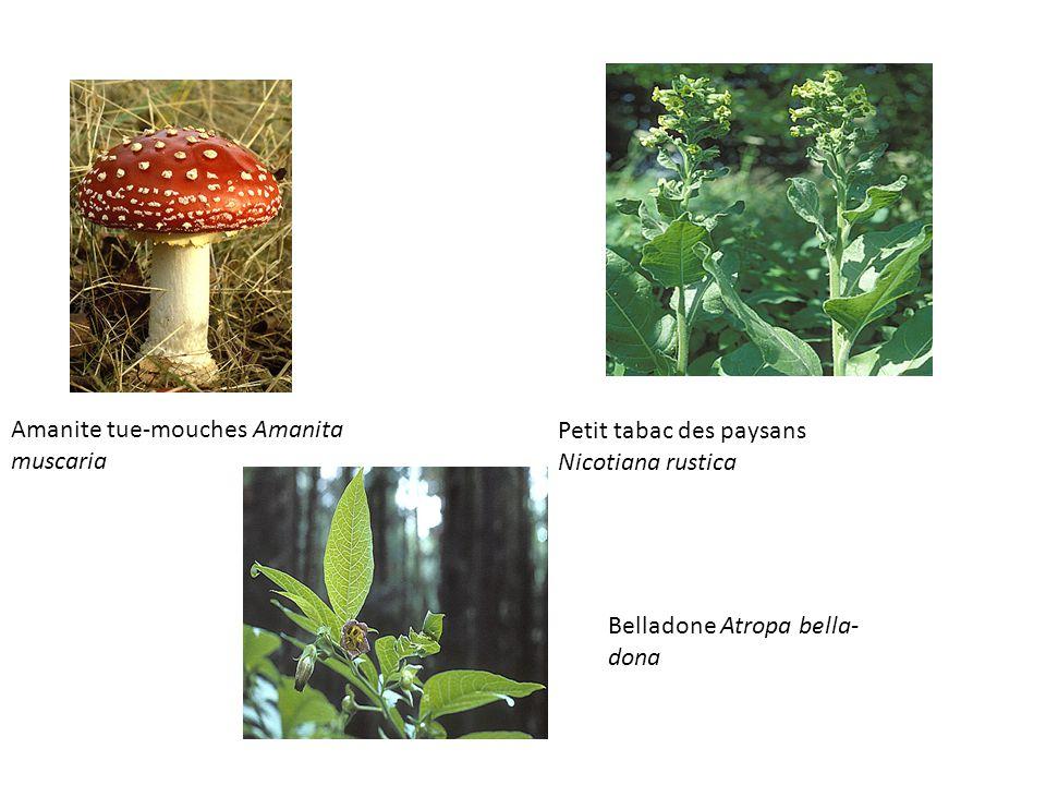 Amanite tue-mouches Amanita muscaria Petit tabac des paysans Nicotiana rustica Belladone Atropa bella- dona