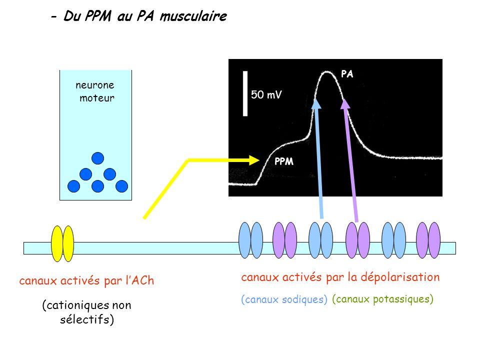 - Du PPM au PA musculaire neurone moteur 50 mV PPM PA (canaux potassiques) canaux activés par la dépolarisation (canaux sodiques) canaux activés par l