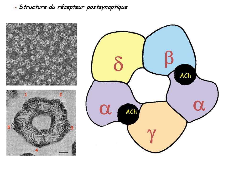 - Structure du récepteur postsynaptique 1 2 3 4 5   ACh   