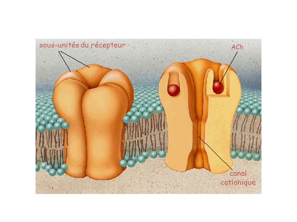 sous-unités du récepteur canal cationique