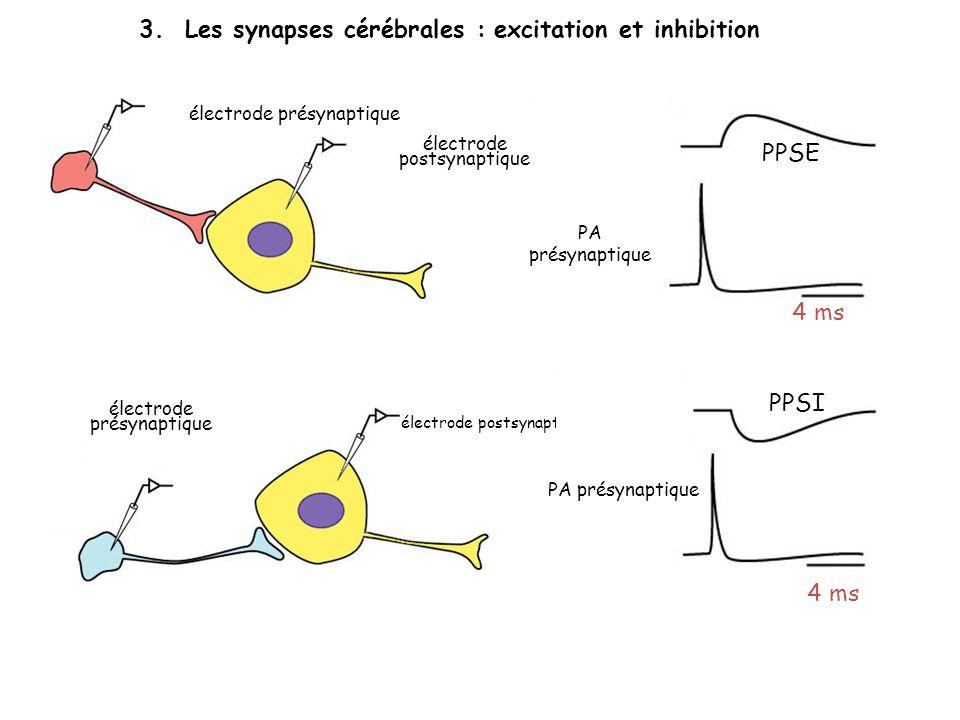 3. Les synapses cérébrales : excitation et inhibition électrode présynaptique électrode postsynaptique PPSE PA présynaptique 4 ms PPSI PA présynaptiqu