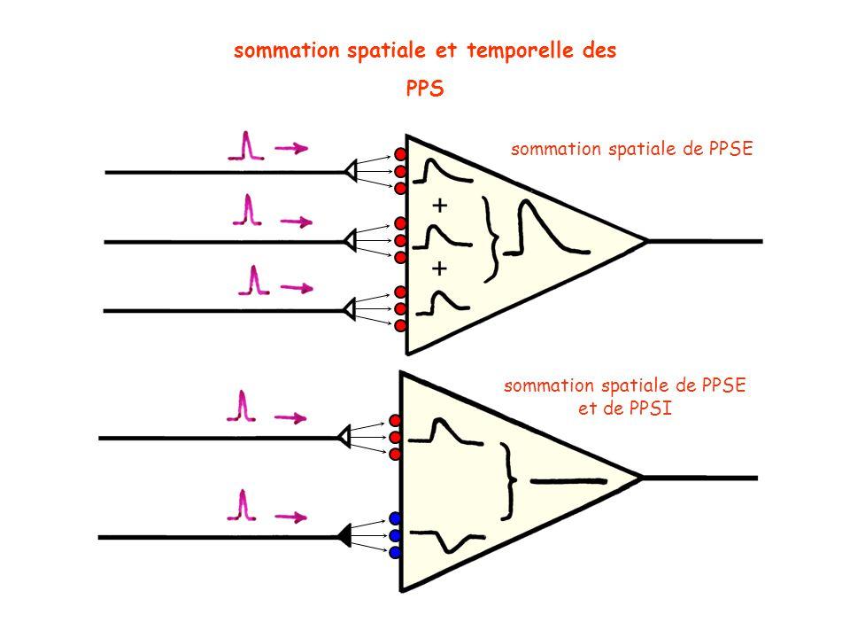 sommation spatiale et temporelle des PPS sommation spatiale de PPSE et de PPSI