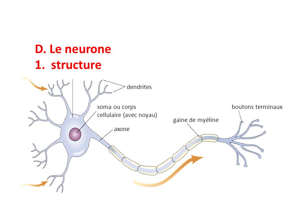 D. Le neurone 1. structure dendrites soma ou corps cellulaire (avec noyau) axone gaine de myéline boutons terminaux
