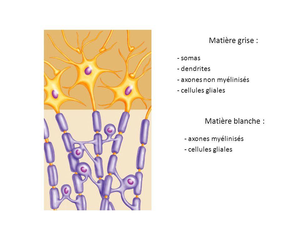 acétylcholine Na + neurone postsynaptique Cl - GABA PPSE PA présynaptique PPSI PA présynaptique 4 ms