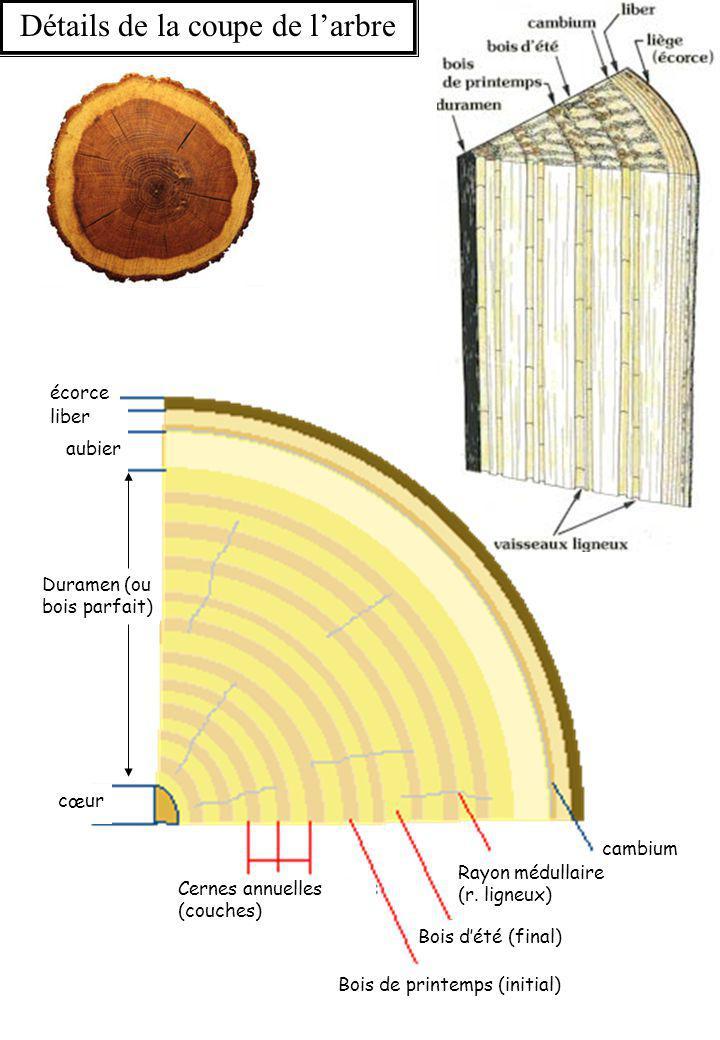 Plan de coupe de l'arbre Coupe radiale Coupe tangentielle Coupe longitudinale Coupe radiale Coupe tangentielle