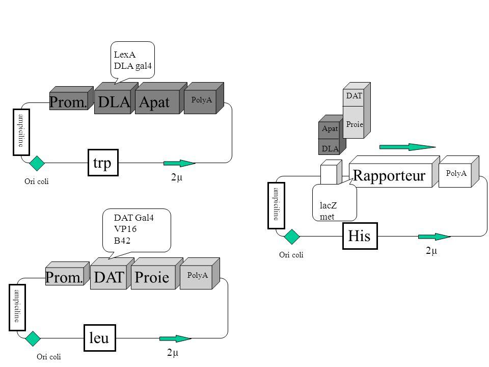 DLAApat PolyA Prom.ampiciline trp 2µ Ori coli LexA DLA gal4 DATProie PolyA Prom.