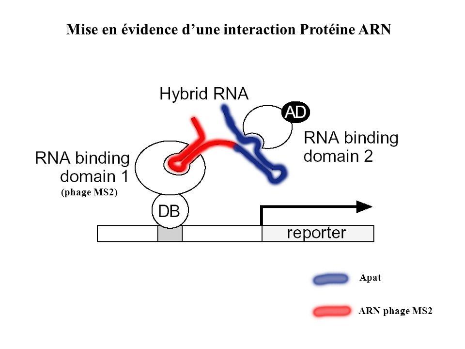 Mise en évidence d'une interaction Protéine ARN (phage MS2) Apat ARN phage MS2