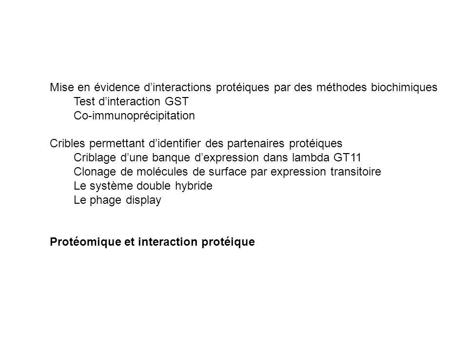 Mise en évidence d'interactions protéiques par des méthodes biochimiques Test d'interaction GST Co-immunoprécipitation Cribles permettant d'identifier des partenaires protéiques Criblage d'une banque d'expression dans lambda GT11 Clonage de molécules de surface par expression transitoire Le système double hybride Le phage display Protéomique et interaction protéique