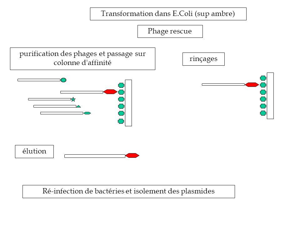 Transformation dans E.Coli (sup ambre) Phage rescue purification des phages et passage sur colonne d affinité Ré-infection de bactéries et isolement des plasmides rinçages élution