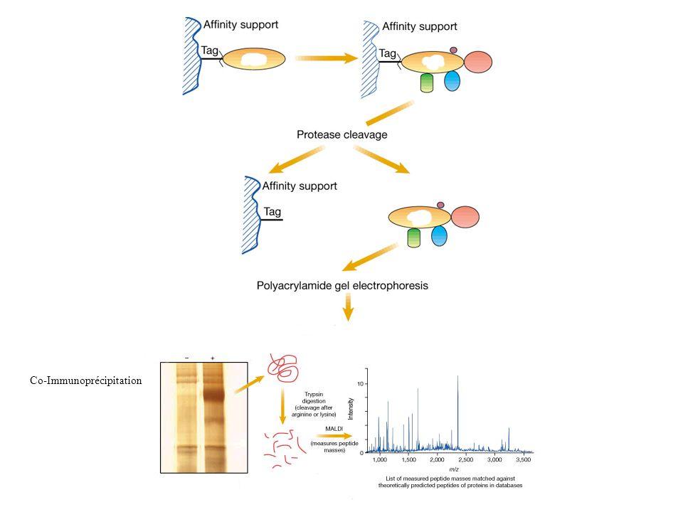 Co-Immunoprécipitation